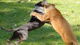 جنگ پر شکار یک شیر وحشی و 20 سگ وحشی