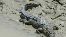 جنگ پلنگ و کروکودیل تمساح