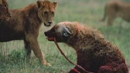 دنیای ترسناک حیوانات وحشی ، شکار وحشیانه ، جنگ کفتارها