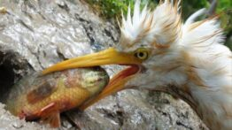 شکار حیوانات پرنده حواصیل سفید و گاو ماهی کوچک زنده ماندن در جنگل