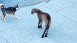 شکار سگ به دست گربه وحشی