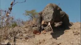 شکار مار کبری توسط اژدهای کومودو