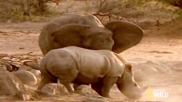 فیل مقابل کرگدن نبرد حیوانات