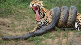 نبرد حیوانات جگوار VS آناکوندا