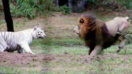 نبرد شیرها دعوای شیرها جنگ شیر با ببر نبرد شیرهای نر نبرد شیر با ببر
