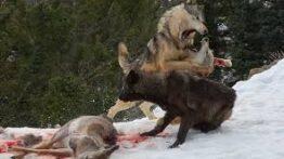 نبرد گرگ ها با خرس بر سر غذا