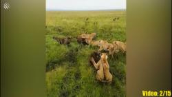 باورنکردنی ترین جنگ های حیوانات وحشی که اتفاقی توسط دوربین ثبت شده است