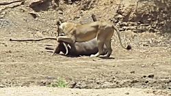 جنگ حیوانات – شکار بی نظیر گوزن یالدار توسط ماده شیر