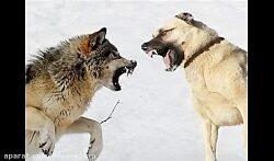جنگ سگ سراب با گرگ و کشتن گرگ وحشی