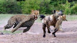حیوانات وحشی 2020 – نبرد حماسی از کفتار با یوزپلنگ ببر در مقابل بوفالو