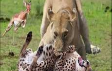 سریع ترین حیوانات جهان_ شیر آهوی شکار شده توسط یوزپلنگ را نجات میدهد.