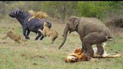 نبردهای حیوانات وحشی_ حمله سگهای وحشی به گوزن
