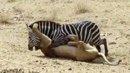 نبرد گاو وحشی و اسب حیوانات وحشی نبرد های سهمگین جدید نبینی ضرر کردی