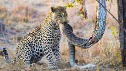 کلیپ حیوانات حمله پلنگ گرسنه به یک مار بزرگ