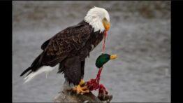 حمله حیوانات به پرندگان