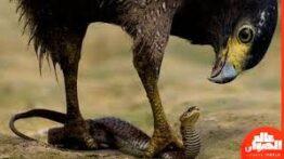 حمله ی غافلگیر کننده ی عقاب وحشی به حیوانات و انسان