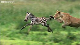 حمل لاشه گورخر توسط شیر شکار گورخر توسط شیر نبرد شیر با گورخر