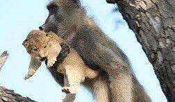 حیات وحش، دزدیده شدن بچه پلنگ توسط میمون