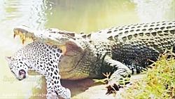 شکار حیوانات توسط تمساح