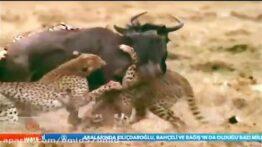 فیلم مستند شکارهای شیرها