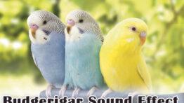 آواز پرنده برای جفت گیری