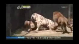 جنگ ببر های سفید با خرس گیریزلی وحشتناک!!!!
