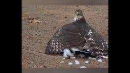 شاهین سعی می کند پرنده فاخته را بکشد