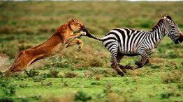 شکارگوزن توسط شیر حیوانات رازبقا