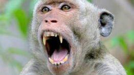 شکار بچه میمون توسط حیوانات وحشی و…..