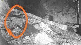 شکار شدن یک روباه وحشی توسط پلنگ و چنگ تا حد مرگ