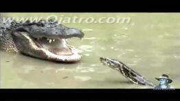 شگفت انگیزترین جنگ تمساح با مار پیتون غولپیکر و بزرگ