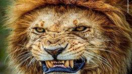 شیر خشمگین کفتار را شکار می کند حیات وحش