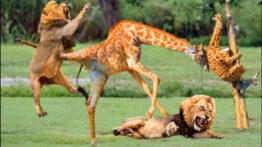 حیات وحش، شکست تحقیرآمیز شیرها در مقابل بوفالوها