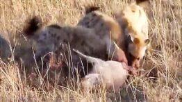 زنده خواری خرس از گراز نگون بخت و سر رسیدن انسان ها