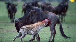 شکار خفن و شدید حیوانات وحشی نبینی از دست دادی