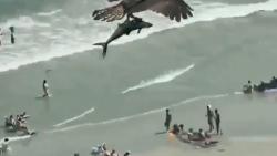 شکار کوسه توسط عقاب