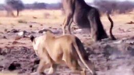 شکار گوزن توسط شیر ها (حیات وحش آفریقا) ۲۰۲۱