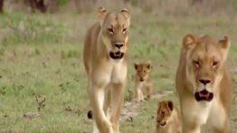 صحنه های بسیار جذاب از حیوانات وحشی و توله هایشان در حیات وحش