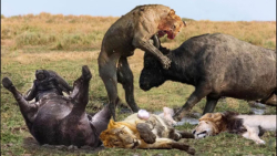 فیلم مستند جنگ و جدال اسبهای وحشی و شیرها در حیات وحش افریقا