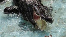مستند حیات وحش از جنگ حیوانات وحشی باهم و شکار شدن شیر توسط تمساح