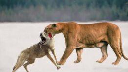 ۱۰تا از بهترین جنگ ها وشکار حیوانات.