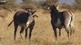 دنیای حیوانات – مبارزه خونین گورخر نر برای جفتگیری –