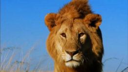 راز بقا – شکست خوردن سلطان جنگل – مستند حیات وحش