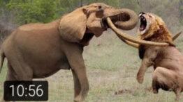 راز بقا – مستند حیات وحش – جنگ شیر مادر با حیوانات وحشی