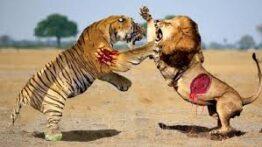 شکار بی رحمانه شیر و ببر و پلنگ