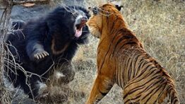 انواع شکار مستندحیات وحش حمله ببر ها به دوربین