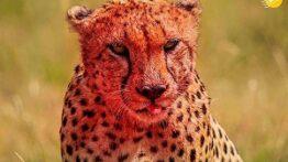 شکار حیوانات توسط پلنگ چشم قرمز!!!!
